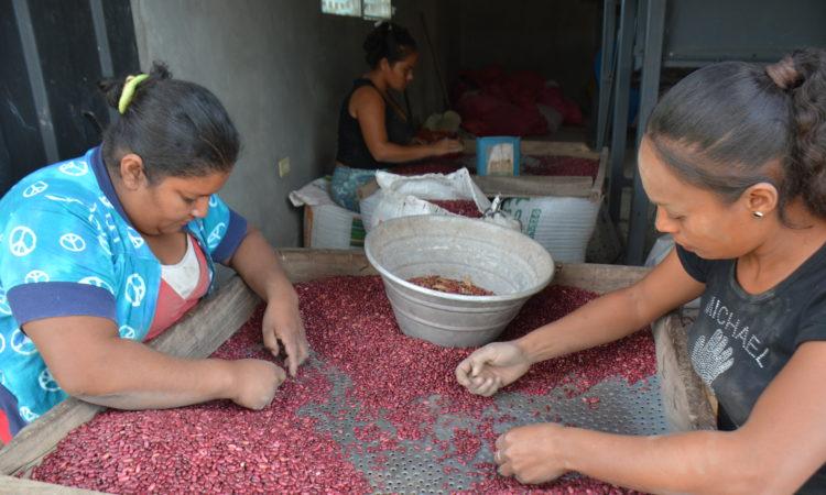 Mujeres clasificando frijoles rojos. (Foto de TechnoServe)