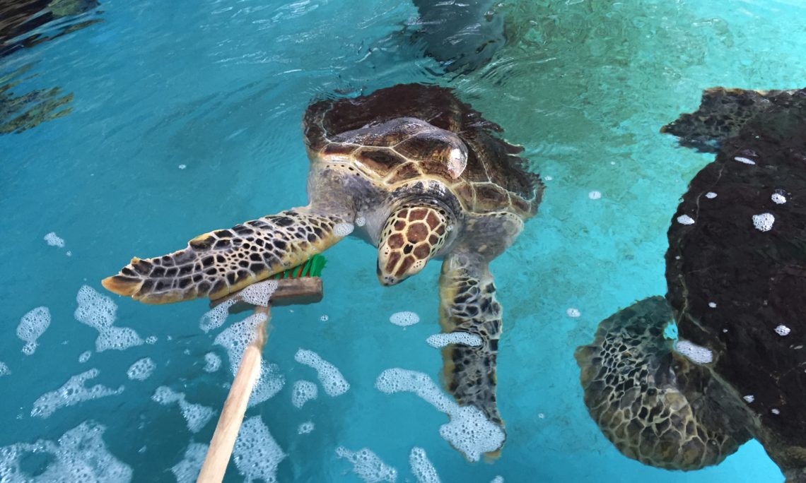 This is Dolores, the sea turtle named after me in Kumejima. She has a heart on her head! Photo credit: U.S. Department of State.