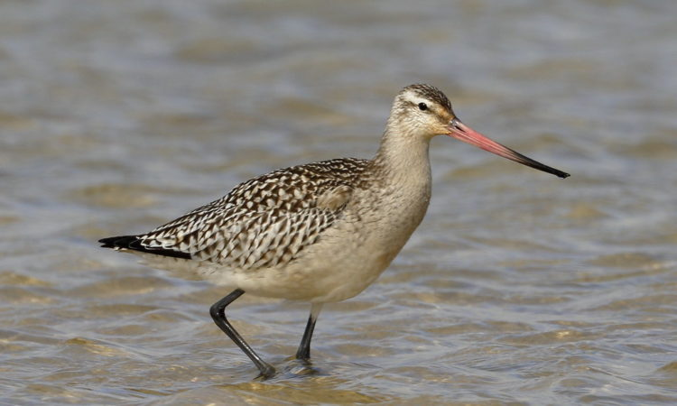 Bar-tailed Godwit. Photo credit:by blachswan (FlickR).