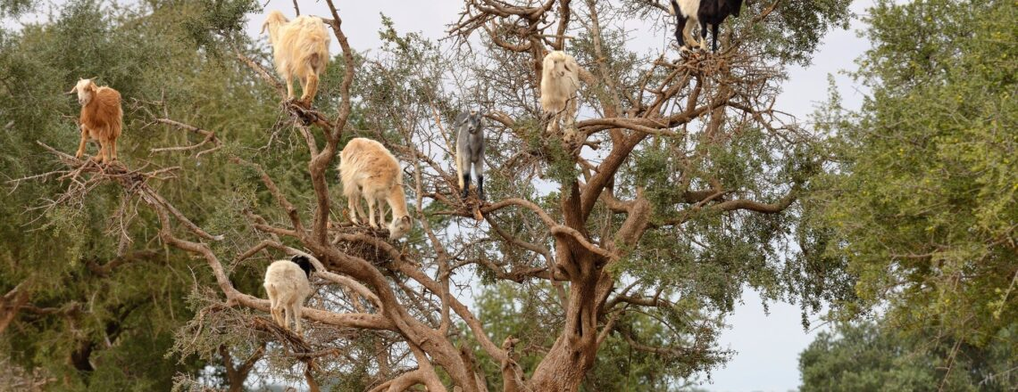 We congratulate Morocco on the first International Day of the Argan Tree!