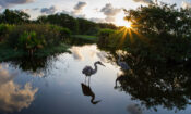 A great blue heron searches for food at Wakodahatchee Wetlands in Delray Beach, Florida, in 2014. (© Suzy Mast)
