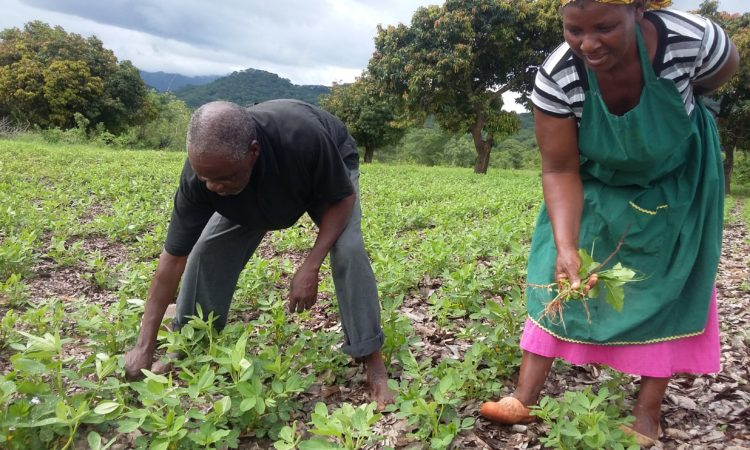 Evelyn Mazhiriri and husband Jesikiya Mageza weed their groundnut field in Chivi – David Nyoni ENSURE