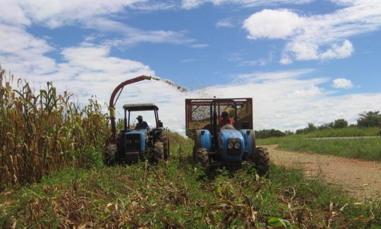 Agricultores da Zambézia procedendo a sua colheita.