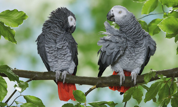 Strongest CITES Protections Signal Hopeful Future for African Grey Parrots