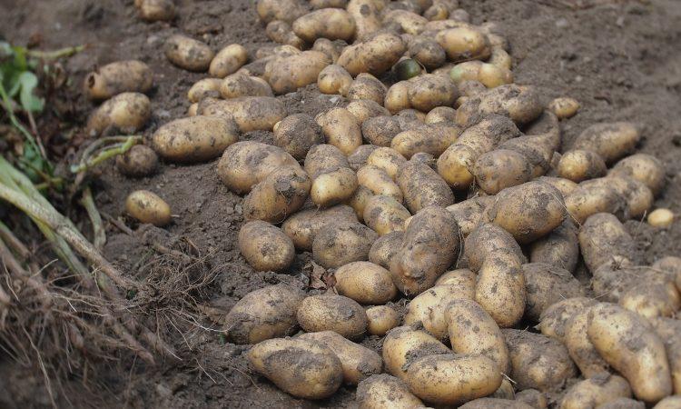 Фермеры Араванского района добились рекордной прибыли от продаж картофеля