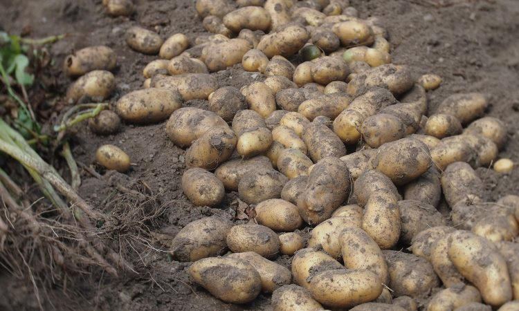 Aravan Potato Farmers Achieve Record Profits
