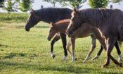 Rok 2021 přinesl baby boom pro české chovatele koní plemene quarter horse