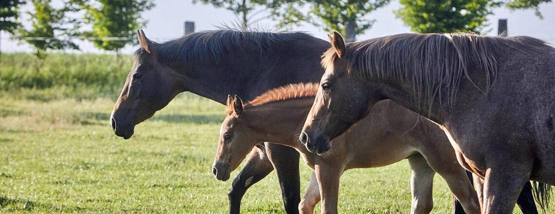 American Quarter Horse Baby Boom in the Czech Republic