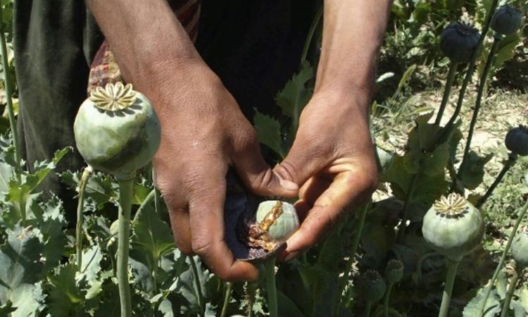 На 21 мај 2008, маж собира смола од афион во поле со афион. © Фотографија на АП
