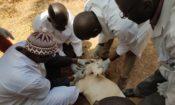 Les États-Unis Aident le Mali à Protéger Son Cheptel