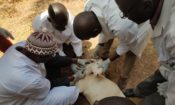 U.S. Partners with Mali To Protect Livestock Herds