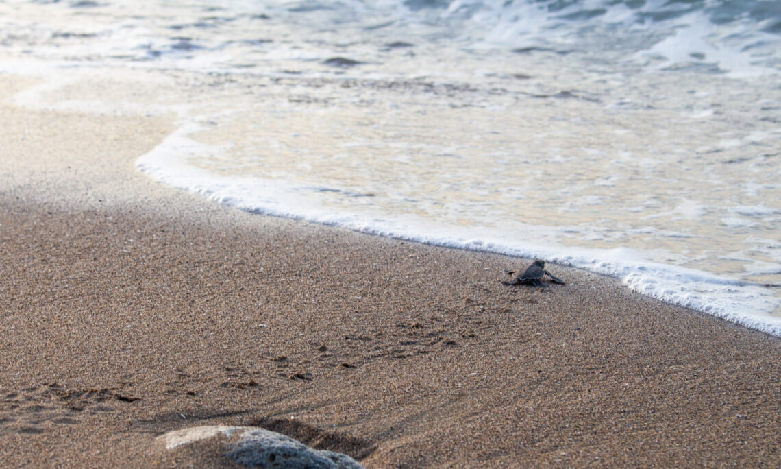 A turtle walking on the beach towards the sea.