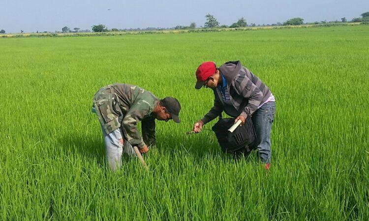 agricultores en campo de arroz