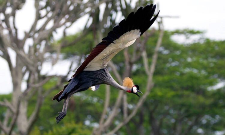 Gray crowned Crane Photo credited to Peter Kennett
