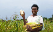 Topista-Tukahirwa-31-planted-almost-9-acres-of-maize-in-her-garden.-She-said-the-hybrid-grains-when-planted-yield-bigger-and-heavier-corn-