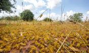 KENYA-KITUI COUNTY-MWINGI-LOCUSTS